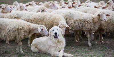 Psy pasterskie – najpopularniejsze rasy