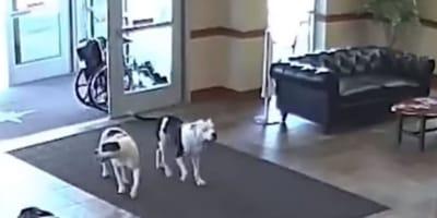 Pitbull entrano in ospedale e quello che succede dopo è unico (Video)