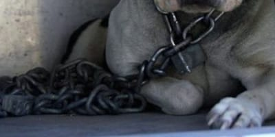 Pittbull encadenado