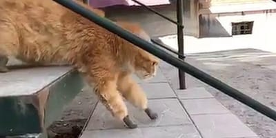 cat loses his limbs to frostbite and received 4 prosthetic legs
