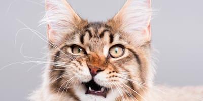 gatto tigrato in primo piano