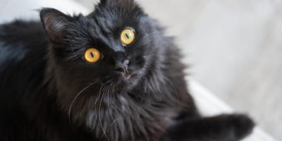 6 beautiful black cat breeds