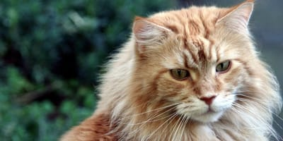5 giant cat breeds that are absolutely gorgeous