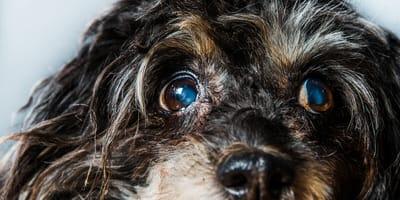 Como tratar las cataratas en perros