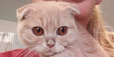 Gatta-bianca-con-occhi-gialli