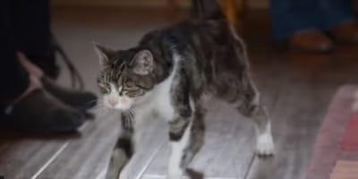 gatto tigrato molto magro