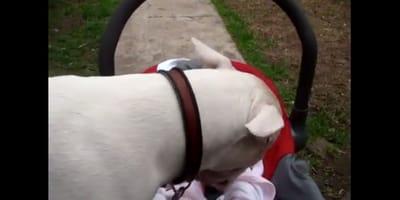 bull terrier bebe
