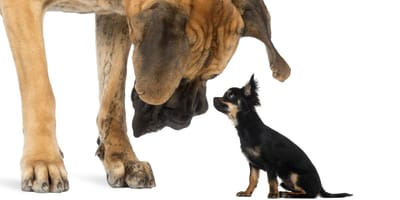 perro grande con perro pequeño