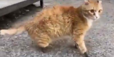 gatto con zampe artificiali