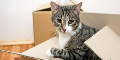Gato jugando con una caja de carton