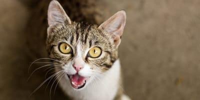Il gatto miagola rauco, come posso aiutarlo?