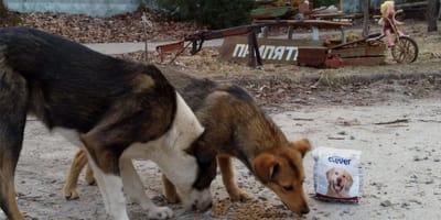 due-cani-mangiano-tra-le-macerie