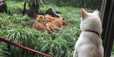 Shiba Hund im Zoo vor Käfig