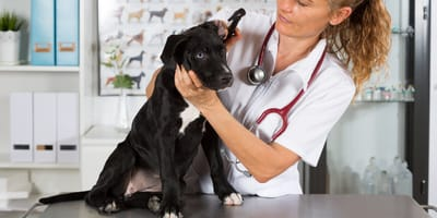 perro no quiere ir al doctor