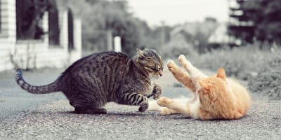 Kratzbürstenalarm: Alles zu Revierkämpfen unter Katzen