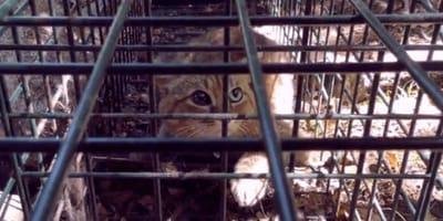 gatto-volpe-in-gabbia