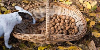 Dürfen Hunde Walnüsse essen?