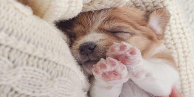 Como curar las heridas de almohadilla en un perro