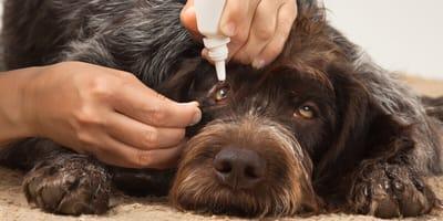 Sanft helfen: Die besten Hausmittel für eine Bindehautentzündung beim Hund