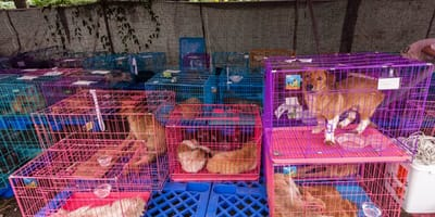festival carne de perro Yulin