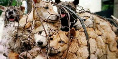 Start of the Yulin Lychee and Dog Meat Festival in China