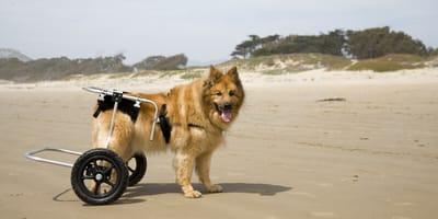 Hund mit Hüftdysplasie