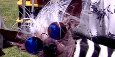 Poznajcie Scampa - najbrzydszego psa świata