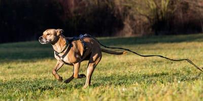 Hund mit Leine rennt weg