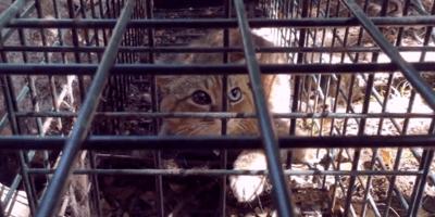 Katzenfuchs auf Korsika entdeckt