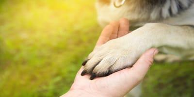 Displasia de codo en perros: tratamientos efectivos