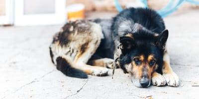 Sebadenitis: Was es mit der seltenen Hautentzündung beim Hund auf sich hat