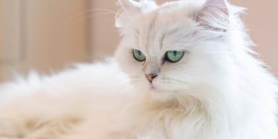 4 razas de gato de pelo largo más bellas del mundo