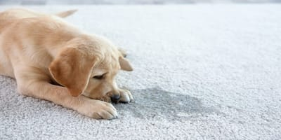 Mi perro se orina en la casa: ¿cómo evitarlo?