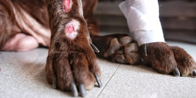 Hotspot beim Hund: Ursachen und Behandlung der runden Entzündungen