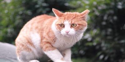 Displasia de cadera en gatos