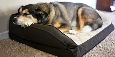 Wenn jede Bewegung schmerzt: Hausmittel für Hunde mit Arthrose
