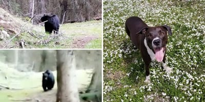 pitbull defiende ataque oso canada