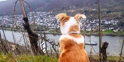 Hund blickt auf die Mosel
