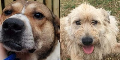 After 500 days in Telford kennels two dog pals need loving home