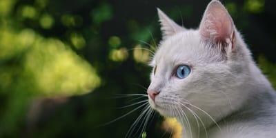 Taube weiße Katze