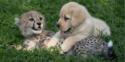 perro labrador amigo cachorro guepardo zoologico