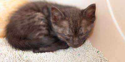 Seltsame Siesta: Warum schläft die Katze im Katzenklo?