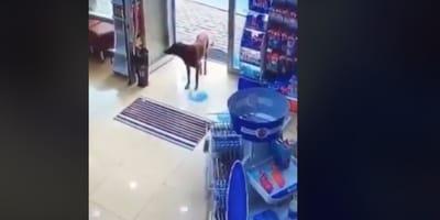 Un inteligente perro callejero entra en la farmacia para para pedir algo que nadie esperaba