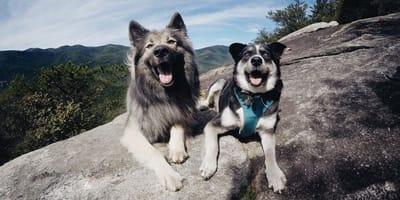 Vom Schnoodle zum Goberian: Das sind die beliebtesten Mischlingshunde