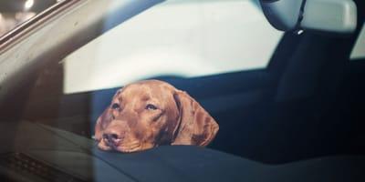 Co zrobić, gdy zobaczymy psa zamkniętego w samochodzie w czasie upałów?