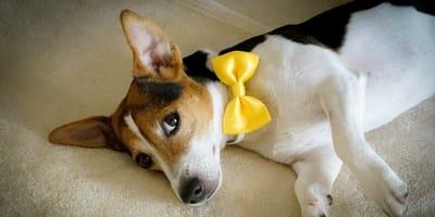Perro con un moño amarillo: ¿qué significa y por qué lo traen algunos canes?