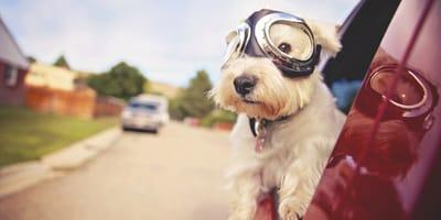 ¿Cómo tienen que viajar los perros en coche?