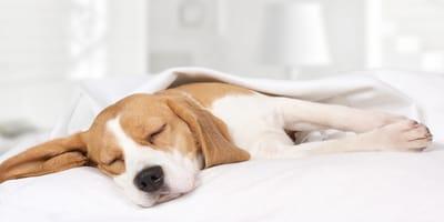 ¿Qué sueñan los perros cuando lloran?