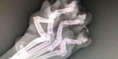 Xray shows broken cat paw