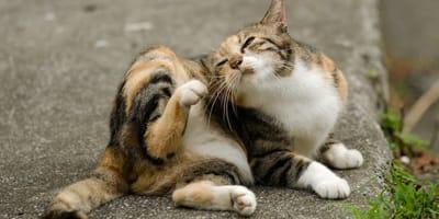 ¿Cómo evitar que nuestro gato pille garrapatas?